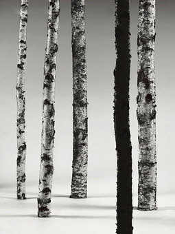 Birch Trees Shot In Studio by Pierre Björk